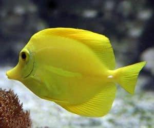 Pez cirujano amarillo (Zebrasoma flavescens)es uno de los peces más populares para un acuario de agua salada