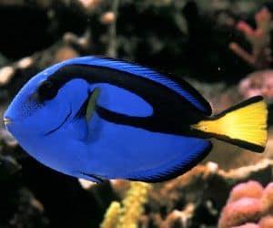 Pez cirujano azul (Paracanthurus hepatus) no es demasiado agresivo hacia otros compañeros