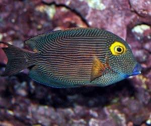 Pez Cirujano de ojo dorado (Ctenochaetus strigosus) puede hacer mucho daño si tienes plantas delicado creciendo y de las algas que quieres mantener