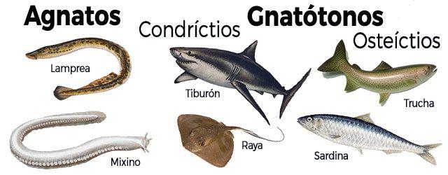 Los peces y sus características: La agrupación de los peces se hace en 3 clases en función de las características físicas
