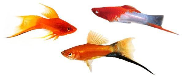 El Pez Cola de espada (Swordtail fish) tiene  una prolongación de su aleta en forma de espada que lo caracteriza