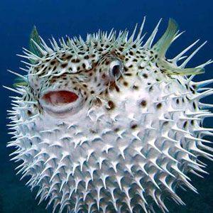 El pez globo es uno de los peces más peligrosos del mundo