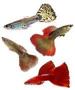 Ver guía de cuidados sobre el pez Guppy