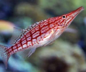 Pez halcón de nariz Larga (Oxycirrhites typus) es un gran candidato para el mini-acuario marino