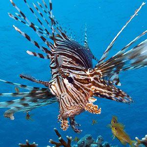 El pez león (Pterois antennata) es otro de los grandes peligros debajo del agua