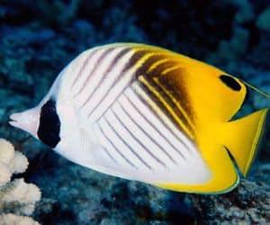 Pez mariposa auriga (Chaetodon auriga) es uno de los más fáciles de cuidar en una pecera marina