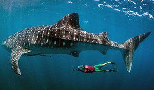 El Tiburón ballena gigante es el pez más grande del mundo
