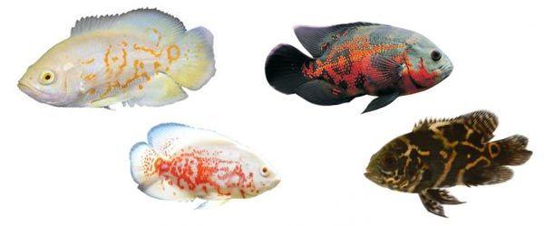 El pez Oscar está considerado como uno de los peces de agua dulce para acuario más inteligentes