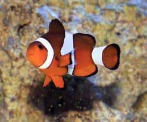 pez payaso (Amphiprion ocellaris) también conocido como falso pez payaso percula