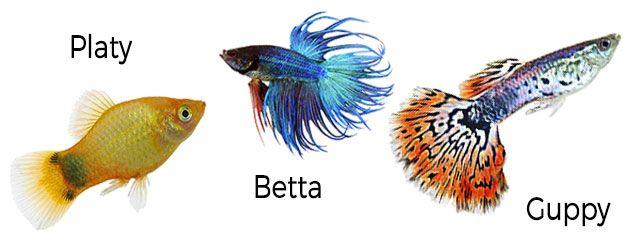 Tipos de reproducción en los peces