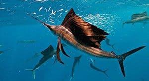 El pez vela es el pez más rápido del mundo
