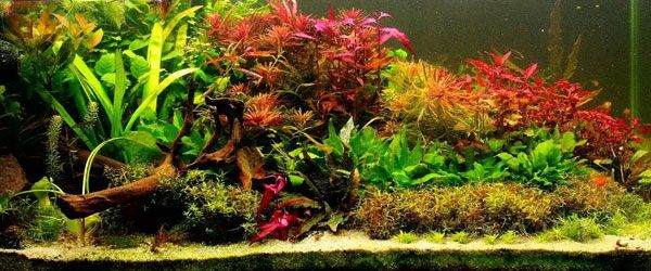 La iluminación es fundamental para una pecera con plantas naturales