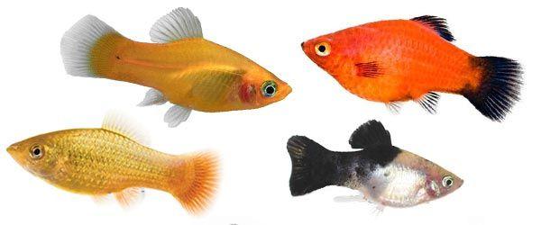El Platy es un pez de agua dulce muy fácil de cuidar