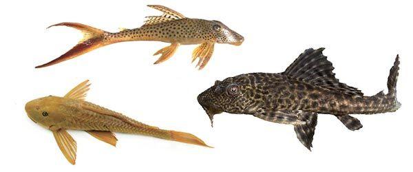 Los plecos son peces de agua dulce con la boca en forma de ventosa para alimentarse de algas