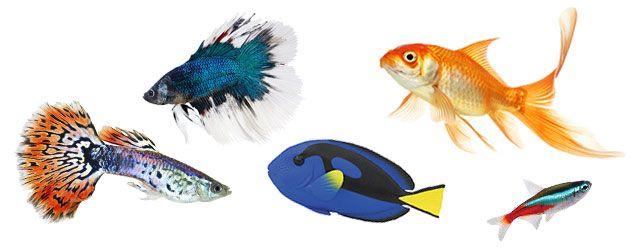 Vemos ahora las principales características de los peces en lo que a la reproducción se refiere