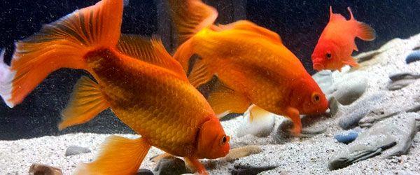 Sustrato, plantas y decoración para tus peces goldfish