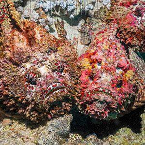 Entre los peces peligrosos que habitan en el planenta están los peces piedra (Synanceia)
