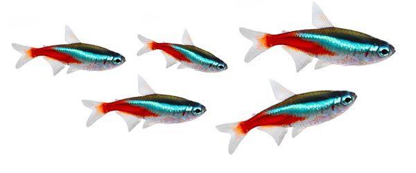 Los peces tetra neón son una especie pequeña y fácil de cuidar