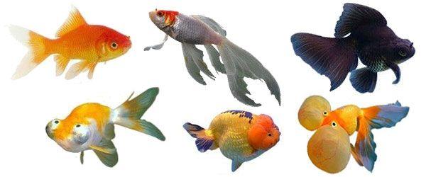 Hay muchas variedades diferentes de peces dorados disponibles hoy en día