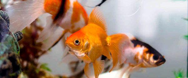 Vigila el comportamiento de tus goldfish