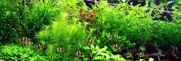 Wisteria de agua - Hygrophila difformis plantada en el acuario