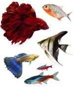 Peces tropicales de agua dulce para acuario