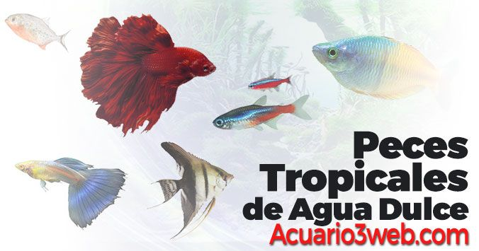 Guía de peces tropicales de agua dulce para peceras y acuarios