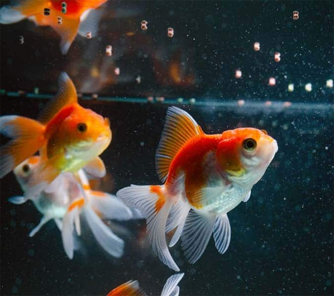 Aprende de qué se alimenta el pez dorado