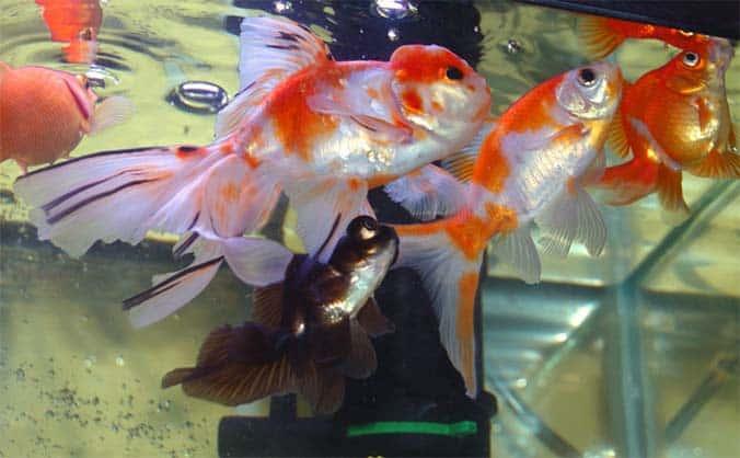 ¿Cuánta cantidad de copos y cada cuanto para alimentar un pez goldfish?