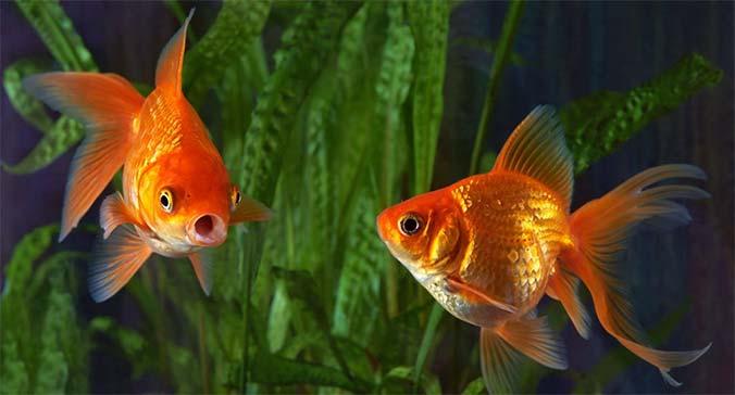 Cuántas veces se alimentan los peces dorados al dia