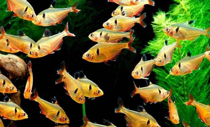 Acuario formado por un grupo de peces Tetra Serpae