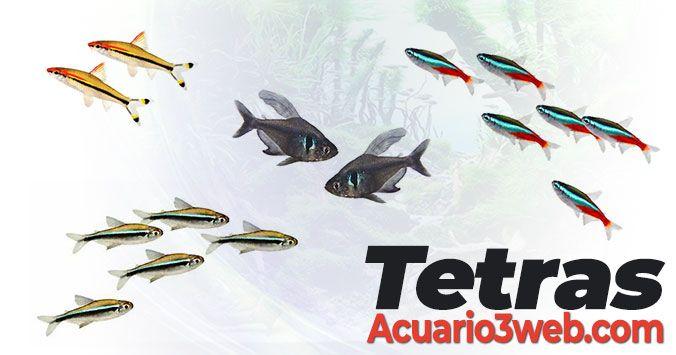 Guía de cuidados básicos de los peces Tetra