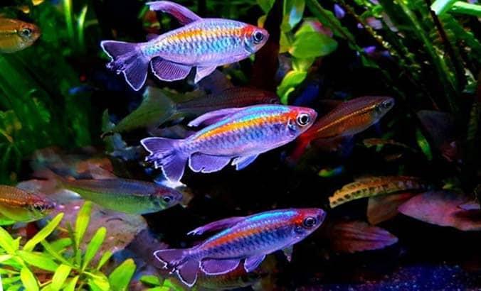 Hermoso acuario formado por un cardumen de pez tetra congo