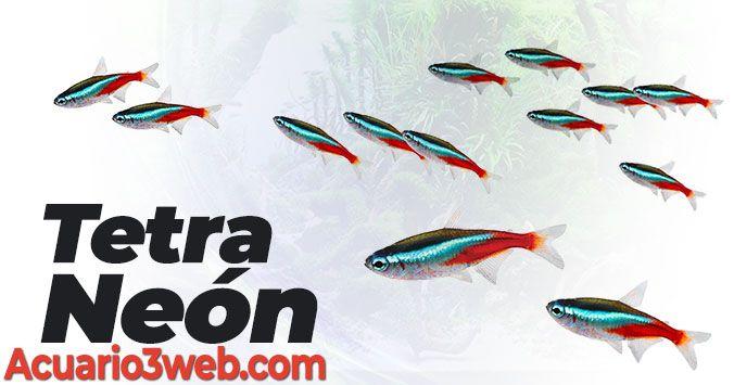 Guía de cuidados del pez tetra neón