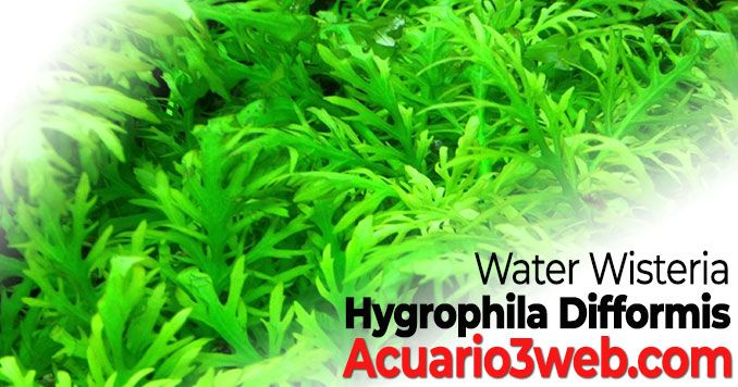 Guía de cuidados de Hygrophila Difformis – Water Wisteria