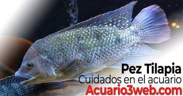 Guía de cuidados del pez tilapia