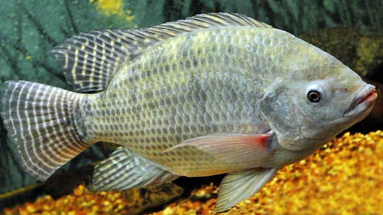 Tilapia del Nilo (Oreochromis niloticus)
