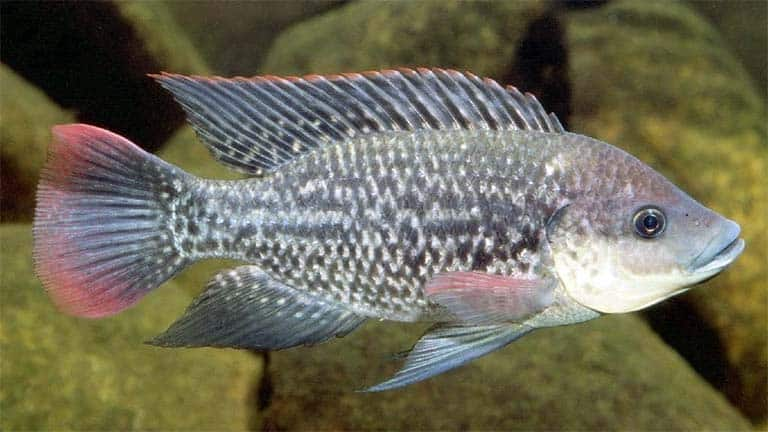 Tilapia roja (Oreochromis mossambicus)