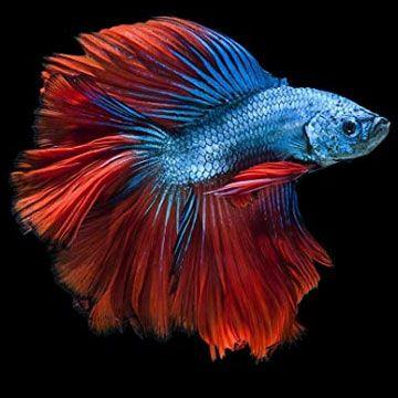 Peces compatibles con el pez betta