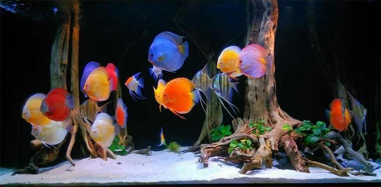 Las plantas y los compañeros de tanque para los peces disco son posibles, pero deben ser capaces de tolerar las temperaturas de agua caliente obligatorias.