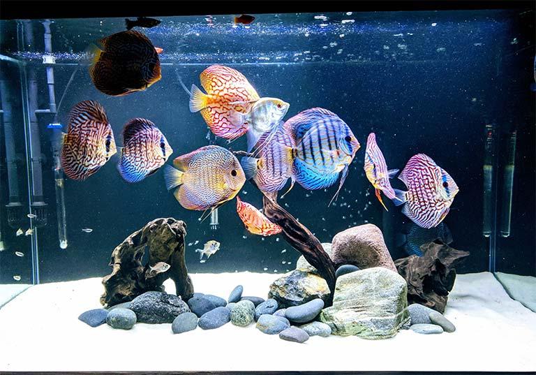 Bello tanque de peces disco