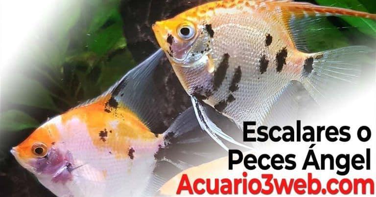 Escalares o Peces Ángel: Guía de cuidados para el acuario
