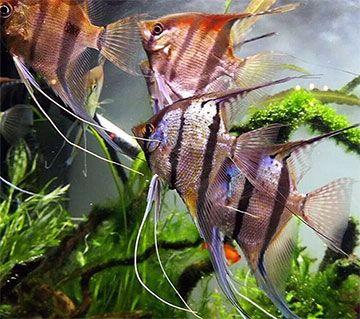 Los peces ángel, también conocidos como Escalares (Pterophyllum scalare)