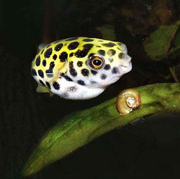Un pez globo enano mirando goloso a un caracol