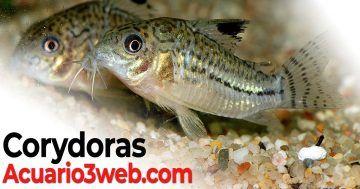 Corydoras: Guía De Cuidados