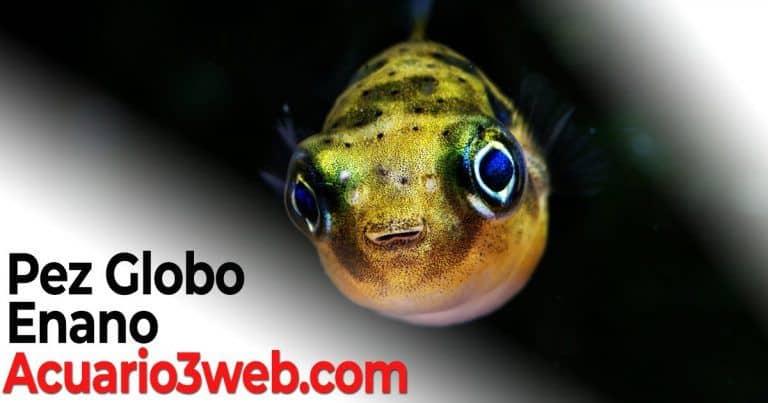 Pez Globo Enano