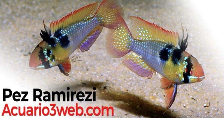 Guía De Cuidados Del Pez Ramirezi (Mikrogeophagus Ramirezi)