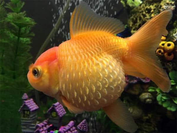el plan de tratamiento a seguir si tu pez tiene hidropesía