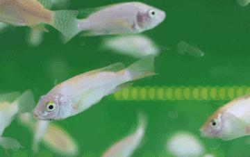 Enfermedades virales de los peces