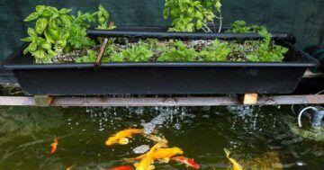 Acuaponía Con Peces Goldfish
